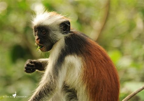 Hope for one of the world's rarest primates: First census