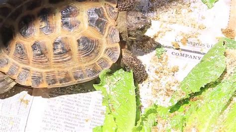 Lunch Time With Baby Russian Tortoise and California