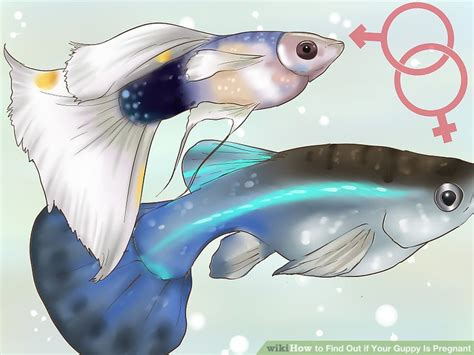 How to Find Out if Your Guppy Is Pregnant: 11 Steps