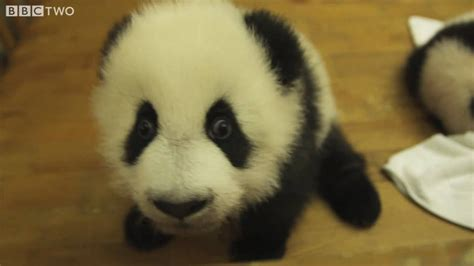 Cute Baby Pandas in a Nursery - Natural World Special