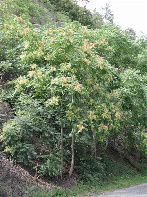 tree-of-heaven, Ailanthus altissima (Sapindales