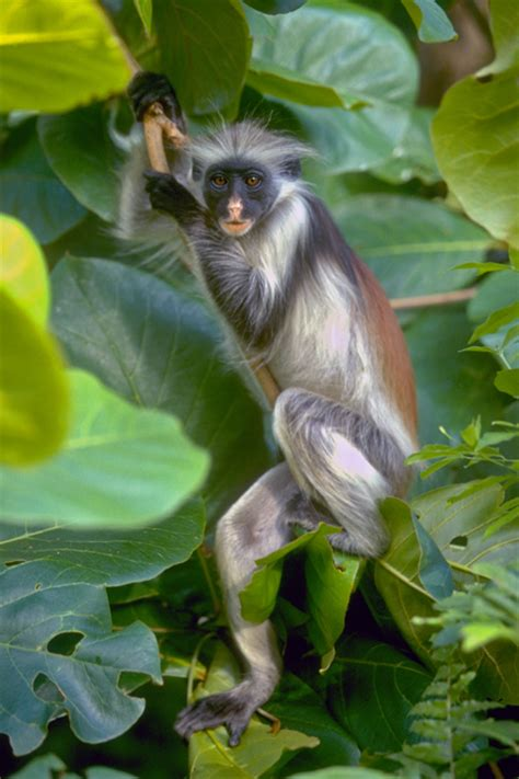 Monkey talk in Tanzania for Monkey Day - Africa Geographic