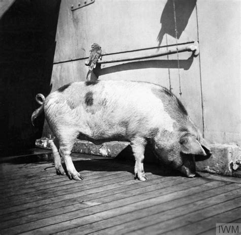 15 Animals That Went To War   Imperial War Museums